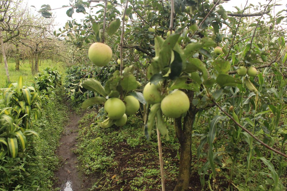 Wisata kebun apel di malang